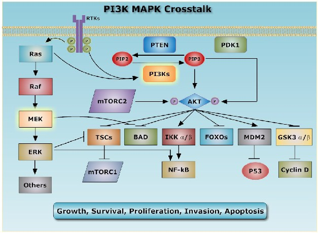 PI3K MAPK crosstalk
